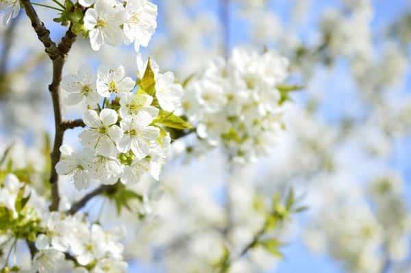 Cradle to Cradle, Kirschbaum, Blüten, Kirschblüten, Blühen, Kreislaufwirtschaft, Kiss My World