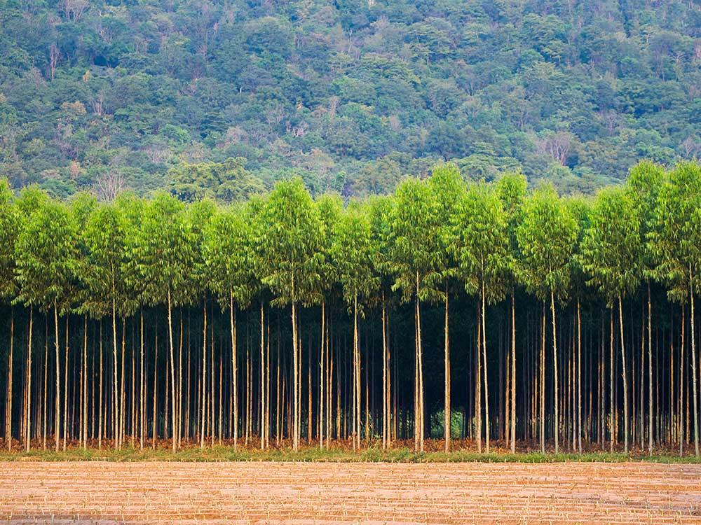 Eukalytusplantage, Monokultur
